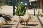 spalding bronze black shoulder hen