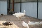 spalding white hen