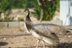 bronze white eye hen