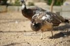 bronze progressive pied hen
