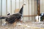spalding bronze black shoulder peacock 6 months old