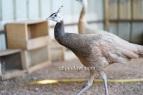 cameo peacock