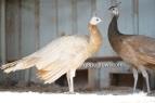 spalding black shoulder peach hen