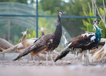 bronze black shoulder peacock 1 year old