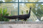 bronze black shoulder peacok