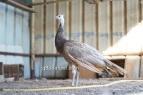 spalding cameo black shoulder peacock