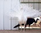 spalding white peacock