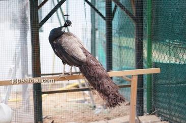 bronze white eye peacock