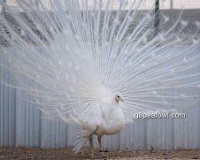 spalding white peacock