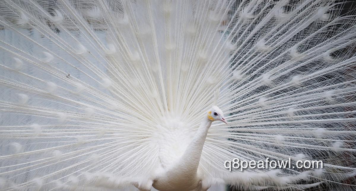 أول موقع عربي متخصص بطائر الطاووس