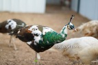 Spalding pied peacock 1 year old