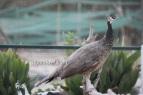 bronze peahen