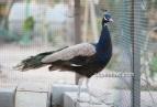 purple white eye peacock