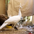 spalding white peahen