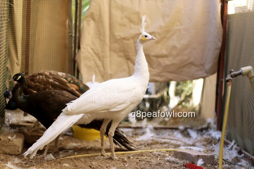 spalding white peahen