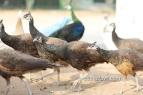 bronze peafowls 8 months old