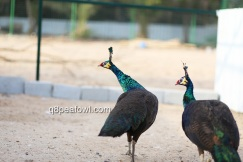 spalding hens
