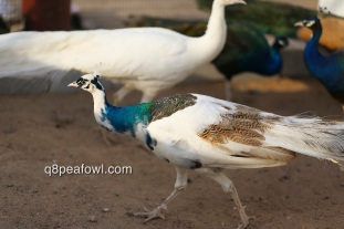 India blue silver pied