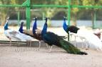 India blue black shoulder peacock
