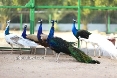 India blue black shoulder peacock