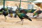 Imperator peafowl 1 year old