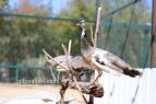 bronze pied white eye peahen