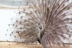 spalding bronze peacock