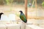 nicobar pigeon
