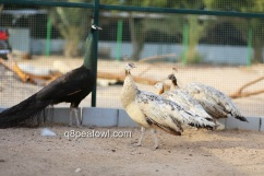 bronze black shoulder hen