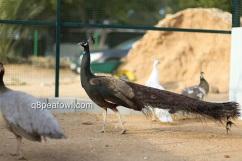 bronze peacock